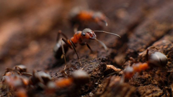 Fire Ant Dancing